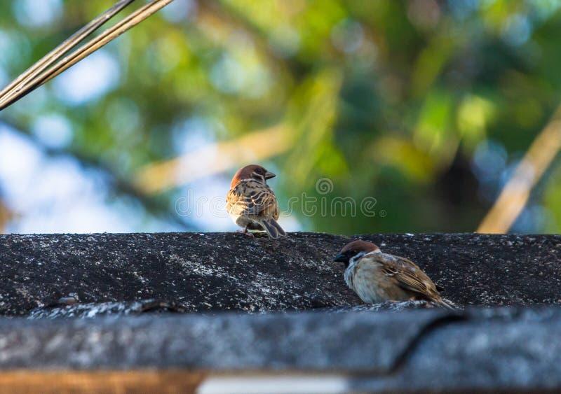 El gorrión encontró áréis agrícolas, los pájaros abre a la comunidad foto de archivo libre de regalías
