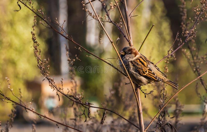 El gorrión gris y marrón de una diversión se sienta en una rama en el parque en otoño imágenes de archivo libres de regalías