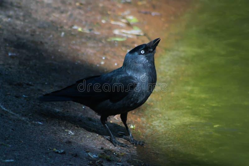 El grajo (monedula del Corvus) fotografía de archivo