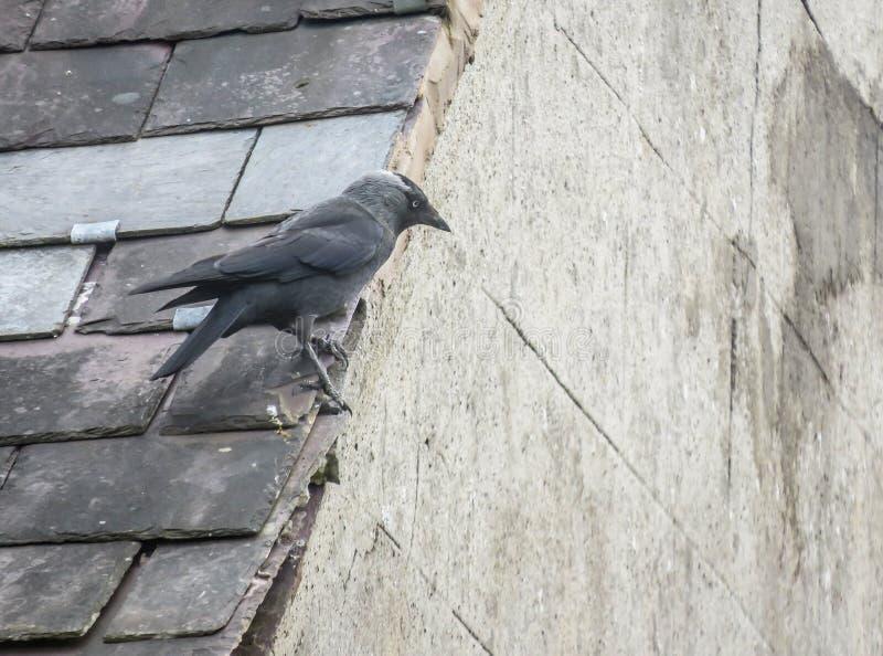 El grajo se encaramó en el tejado de pizarra en el Reino Unido fotografía de archivo libre de regalías