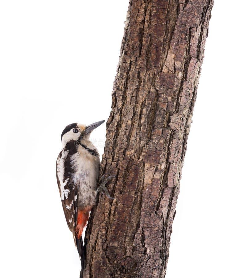 El gran carpintero de madera vista Dendrocopos mayor sentado en un árbol aislado en un fondo blanco fotos de archivo libres de regalías