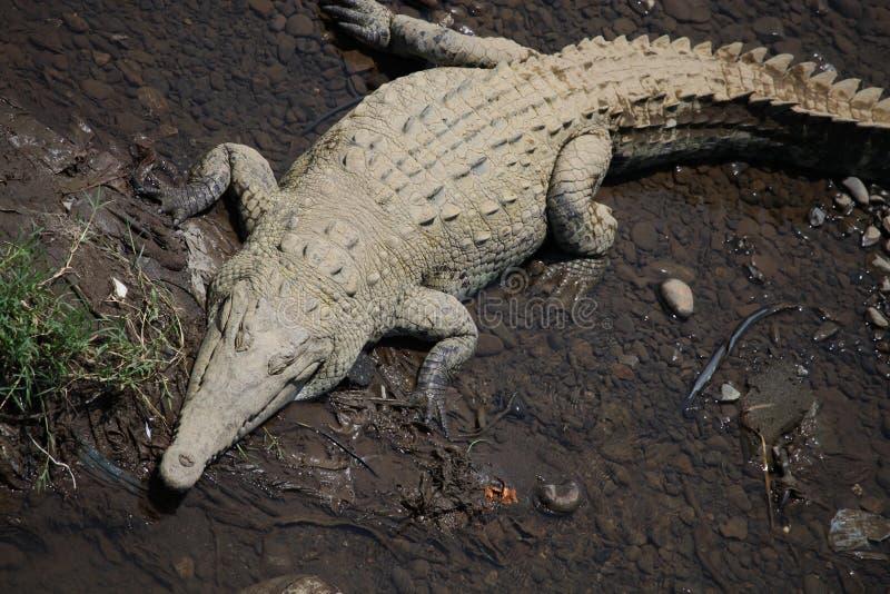 El gran cocodrilo americano miente en los bancos del río en Costa Rica imagen de archivo