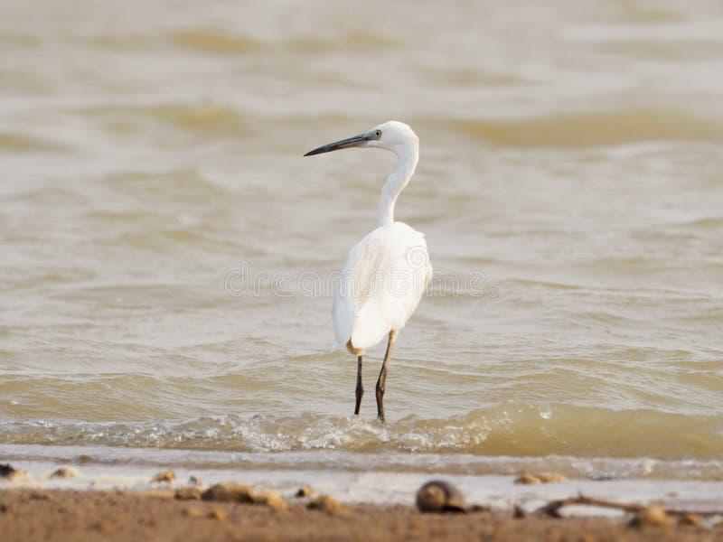 El gran pájaro de la garceta la boca es amarillo en el extremo que la boca es pluma blanca levemente gris en laguna imagen de archivo