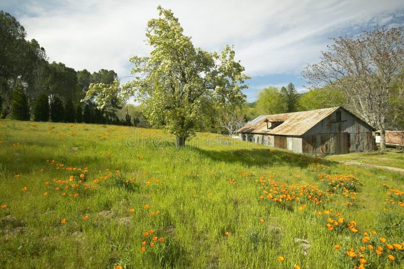 El granero viejo al lado de un ramo colorido de flores de la primavera y las amapolas de California acercan al lago Hughes, CA imagenes de archivo