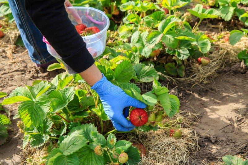 El granjero de sexo femenino está escogiendo las fresas maduras rojas en cuenco plástico fotografía de archivo libre de regalías