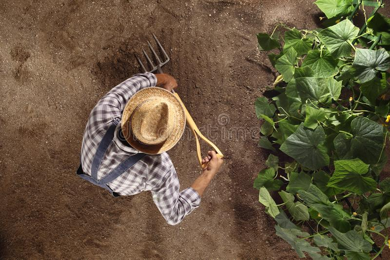 El granjero del hombre que trabaja con el bieldo en huerto, cava el suelo cerca de una planta del pepino, plantilla del espacio d fotografía de archivo libre de regalías