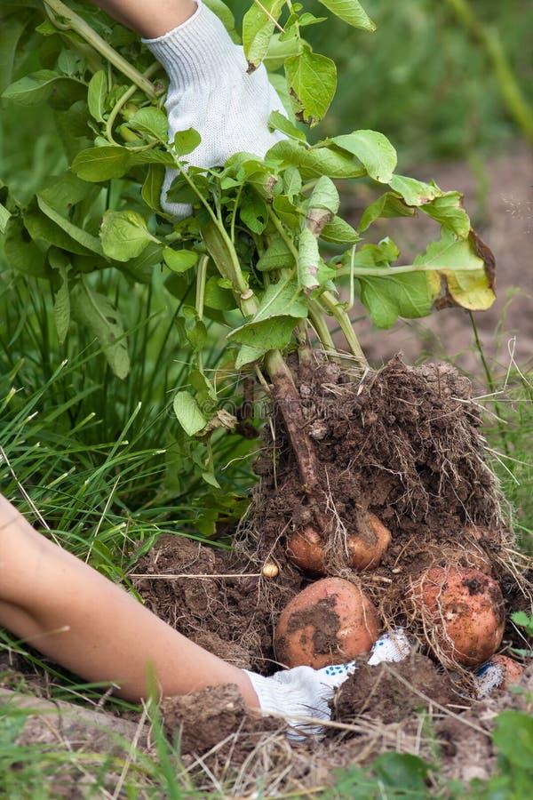 El granjero desenterró un arbusto de patatas fotos de archivo