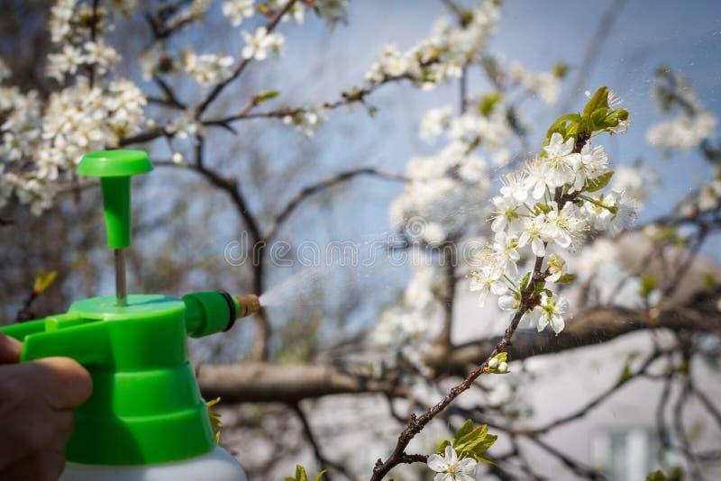 El granjero está asperjando la solución del agua en ramas del cerezo con las flores fotos de archivo