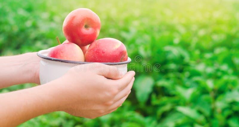El granjero está sosteniendo manzanas frescas recolectadas en el jardín el otoño y el verano cosechan una placa de vitaminas fotos de archivo libres de regalías