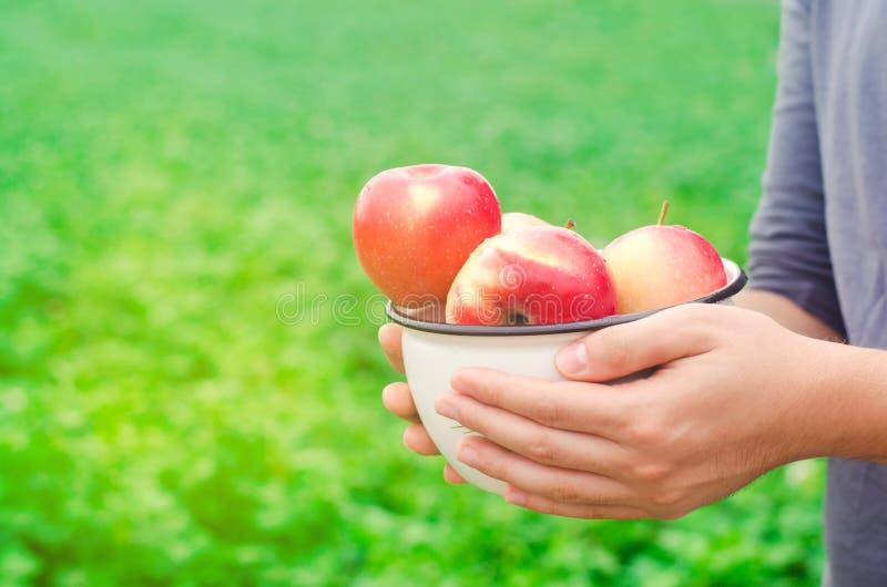 El granjero está sosteniendo manzanas frescas recolectadas en el jardín el otoño y el verano cosechan una placa de vitaminas fotografía de archivo