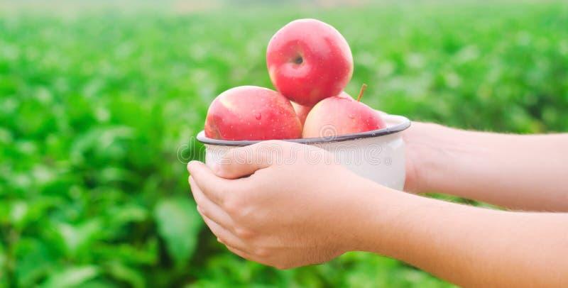 El granjero está sosteniendo manzanas frescas recolectadas en el jardín el otoño y el verano cosechan una placa de vitaminas fotografía de archivo libre de regalías