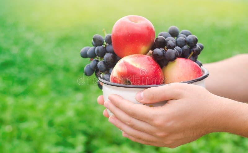 El granjero está sosteniendo manzanas frescas y las uvas recolectadas en el jardín el otoño y el verano cosechan una placa de vit fotos de archivo libres de regalías