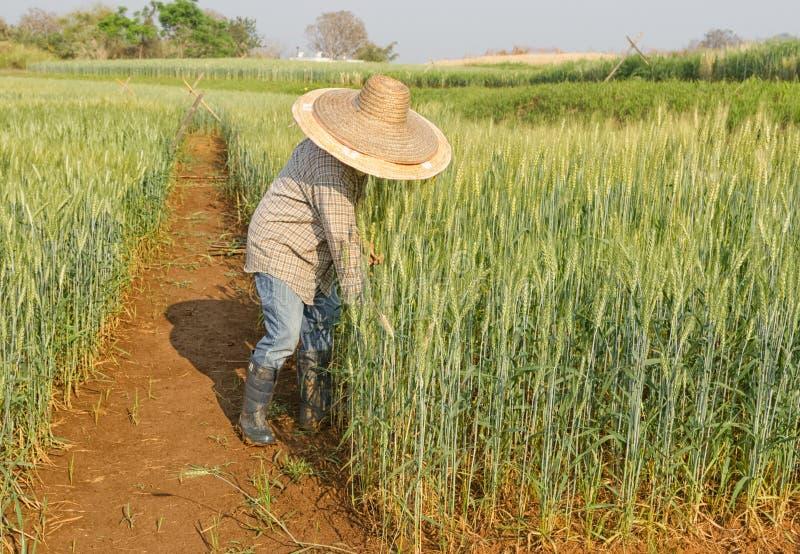 El granjero está trabajando en el campo de trigo imagen de archivo