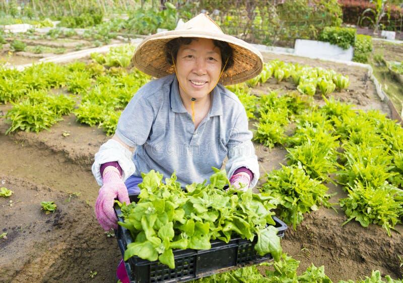 El granjero mayor de sexo femenino feliz que trabaja en verduras cultiva imagen de archivo