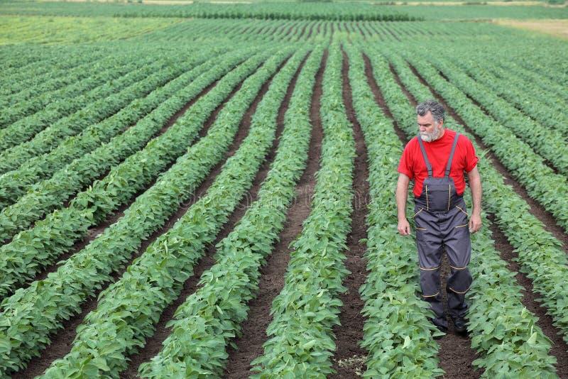 El granjero o el agrónomo que camina en campo de la soja y examina la planta imagen de archivo libre de regalías