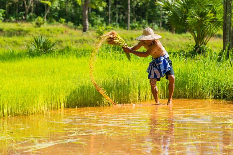 El granjero que cosecha el arroz brota para replantar en granja del arroz imágenes de archivo libres de regalías