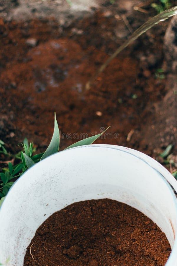 El granjero toma el cuidado de las plantas en la plantación farming añada el fertilizante foto de archivo