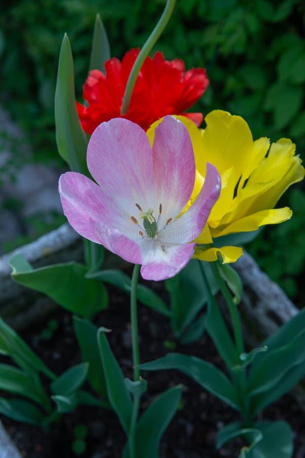 El Greigii ha estado floreciendo desde abril y el más conocidos son favorito de Capteins fotografía de archivo