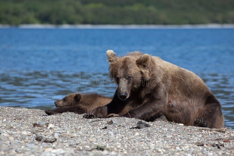 El grisáceo salvaje del oso marrón con un pequeño oso lindo está en el lago imagenes de archivo