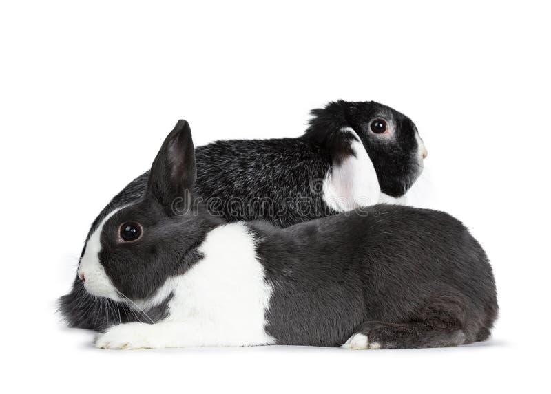 El gris femenino lindo con el conejo europeo blanco y el negro masculino valiente con blanco podan al amigo del oído Aislado en e imagen de archivo libre de regalías