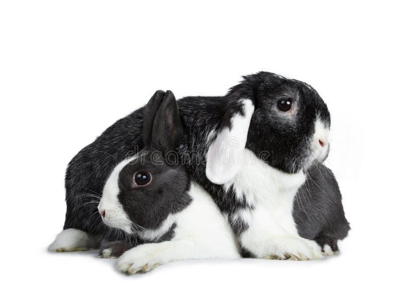 El gris femenino lindo con el conejo europeo blanco y el negro masculino valiente con blanco podan al amigo del oído Aislado en e imagen de archivo