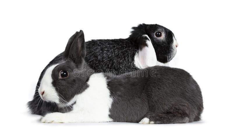 El gris femenino lindo con el conejo europeo blanco y el negro masculino valiente con blanco podan al amigo del oído Aislado en e foto de archivo libre de regalías