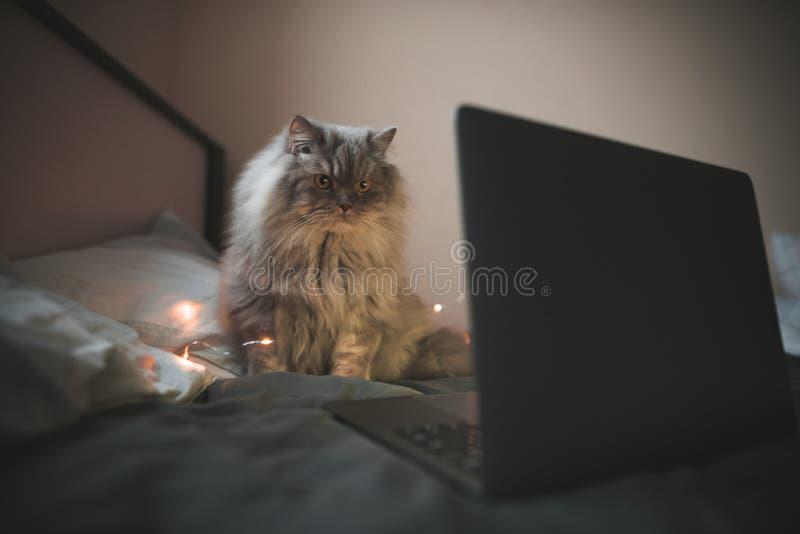El gris, gato mullido se sienta en una cama cerca del ordenador portátil, centrado en la mirada de la pantalla del ordenador port fotos de archivo