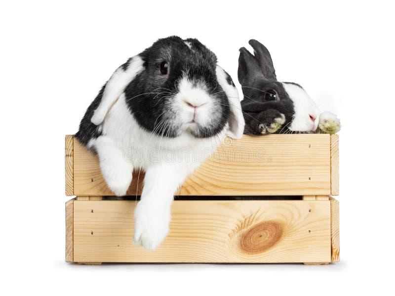 El gris lindo con el conejo europeo blanco, y el negro con blanco podan al amigo del oído Aislado en el fondo blanco foto de archivo libre de regalías