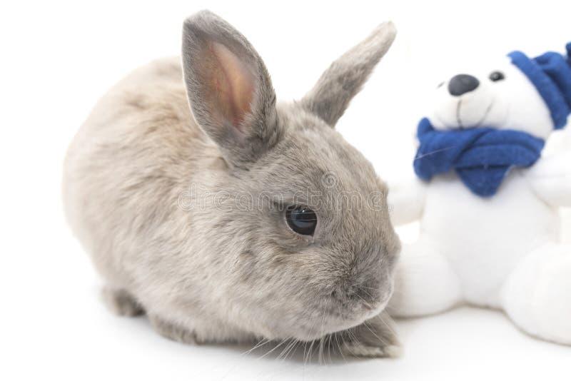 El gris lindo del conejo se sienta cerca del juguete suave aislado en el fondo blanco fotos de archivo libres de regalías