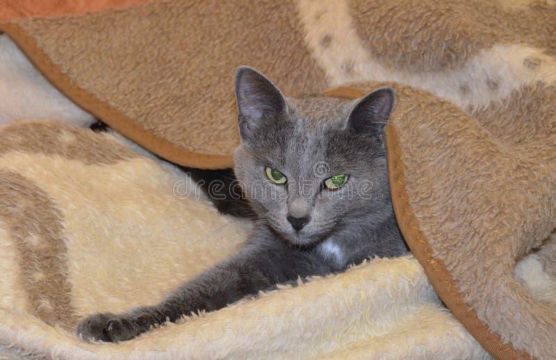 El gris plateado gris-azul ruso de la raza hermosa del gatito duerme debajo de una manta fotos de archivo