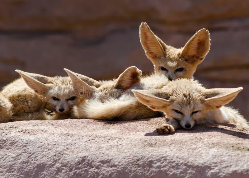 El grupo de Fennec Foxes Marruecos imagenes de archivo