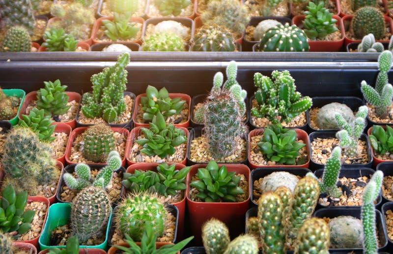 El grupo de muchos cactus en pote, un cactus es un miembro del Cactaceae de la familia de plantas imagen de archivo