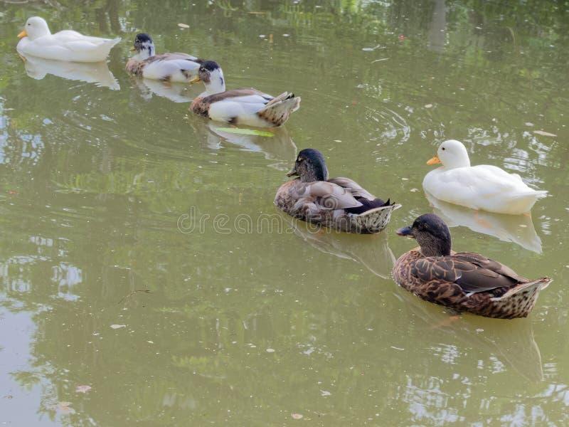 El grupo de patos blancos, verdes, y marrones que dirigen el noroeste sigue los otros en una charca verde oscuro fotografía de archivo libre de regalías