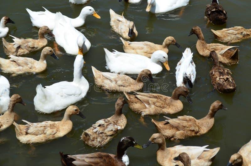 El grupo de patos blancos y marrones nada en la charca fotografía de archivo