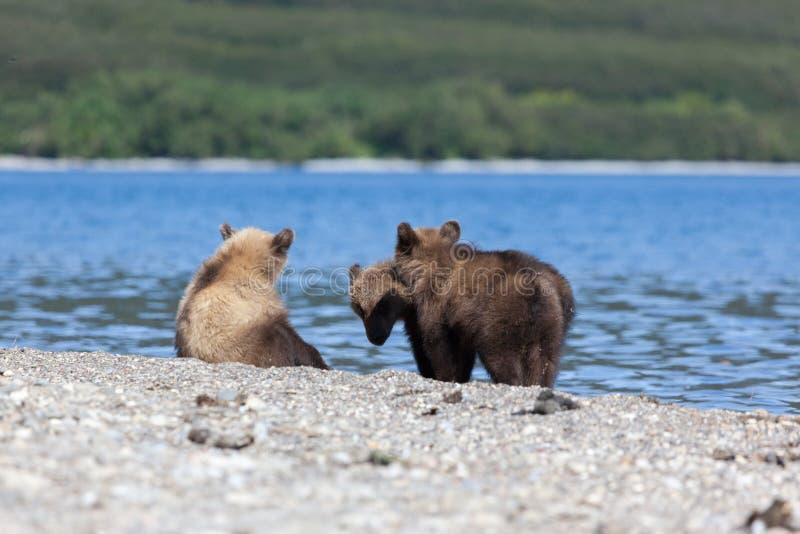 El grupo de pequeños cachorros lindos del grisáceo del oso mira pescados en el lago Kuril fotografía de archivo libre de regalías