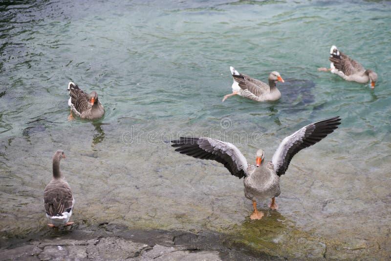 El grupo del ganso del vuelo en el lago está pescando imágenes de archivo libres de regalías