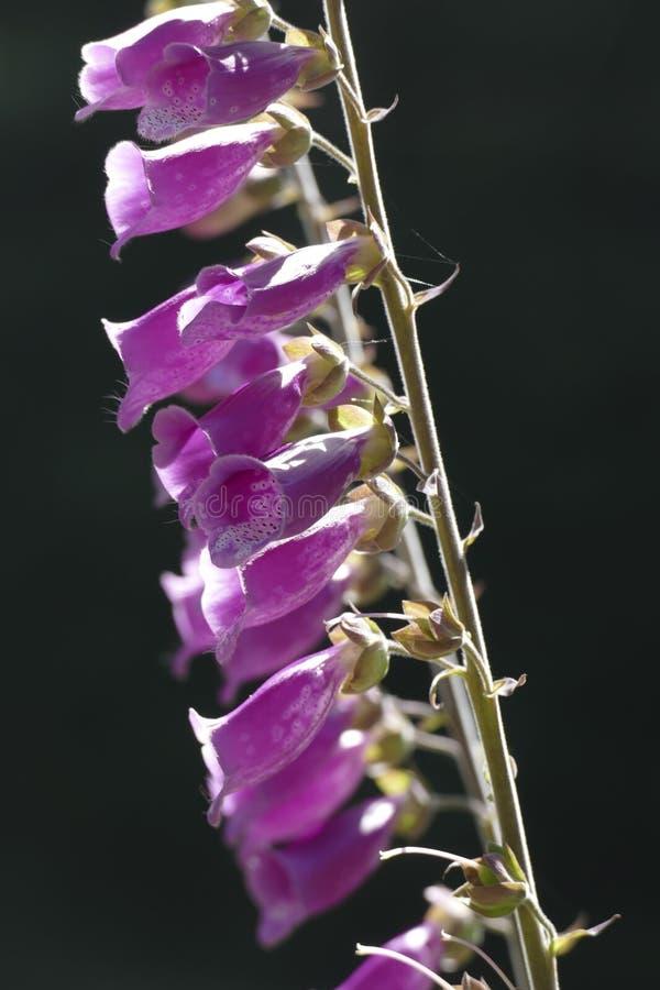 El guante de la dedalera o de la señora es planta de florecimiento en la familia de llantén fotos de archivo