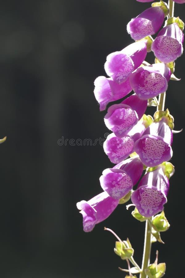 El guante de la dedalera o de la señora es planta de florecimiento en la familia de llantén foto de archivo libre de regalías