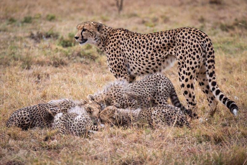 El guepardo coloca cachorros de observación para comer la gacela de THOMSON fotos de archivo