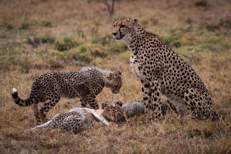 El guepardo mira mientras que los cachorros comen la gacela de THOMSON imagen de archivo