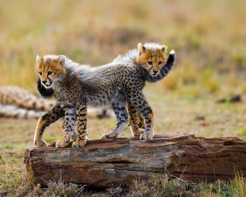 El guepardo pare el juego con uno a en la sabana kenia tanzania África Parque nacional serengeti Maasai Mara imagenes de archivo