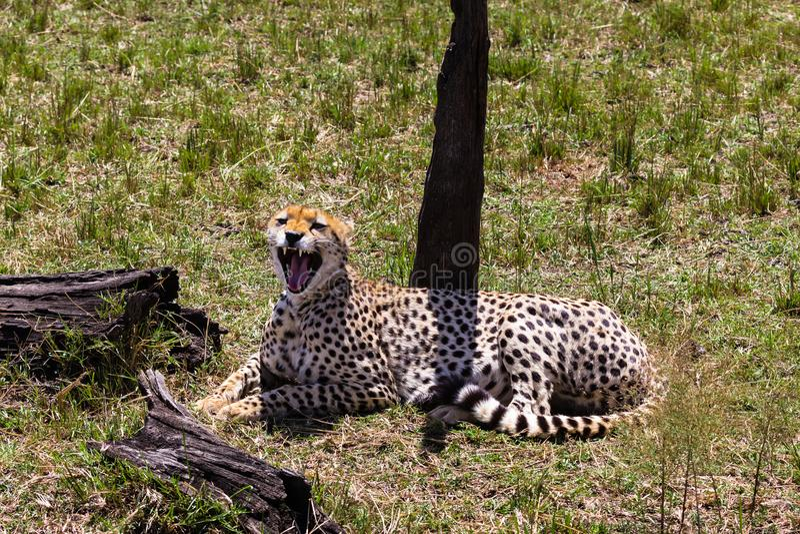 El guepardo quiere dormir Kenia, África fotos de archivo libres de regalías