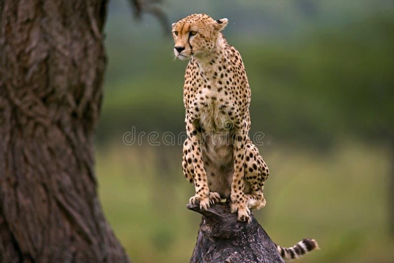 El guepardo se sienta en un árbol en la sabana kenia tanzania África Parque nacional serengeti Maasai Mara fotos de archivo