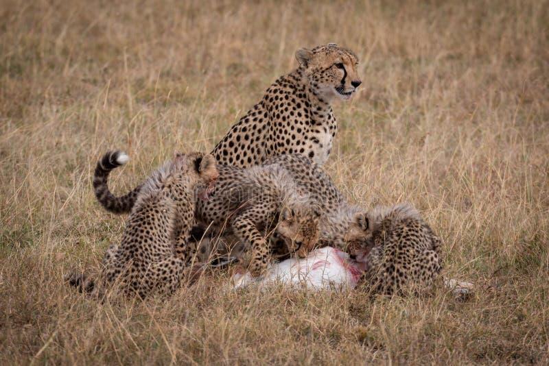 El guepardo se sienta mientras que los cachorros comen la gacela de THOMSON fotografía de archivo