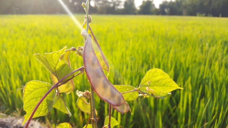 El guisante rápido Pisum Sativum var macrocarpon, también conocido como el guisante rápido de azúcar foto de archivo