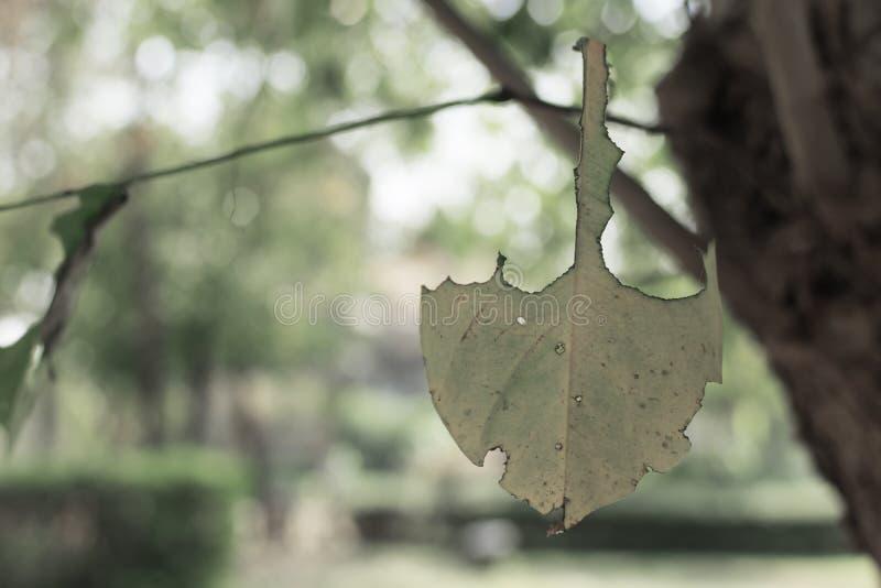 El gusano de las hojas come de la hoja verde con el modelo de la mordedura del gusano, hoja con los agujeros comidos por los pará foto de archivo
