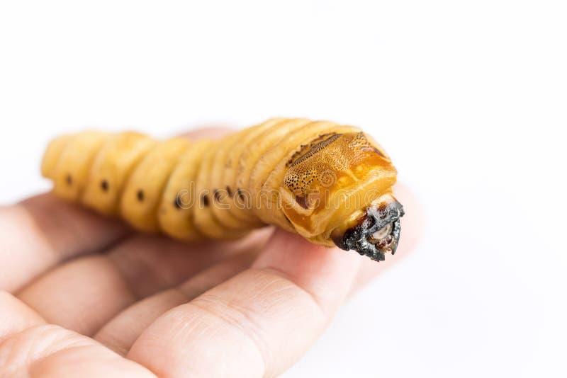 El gusano del escarabajo de la tenencia de la mano de la mujer del escarabajo del escarabajo es par?sito de insecto peligroso con foto de archivo libre de regalías
