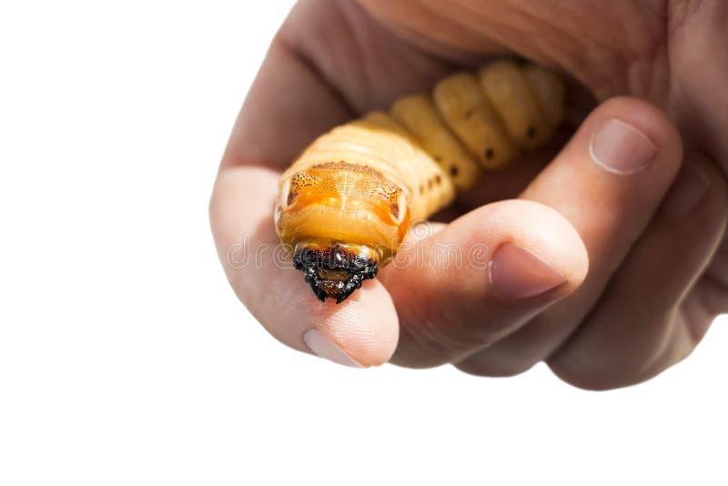El gusano del escarabajo de la tenencia de la mano de la mujer del escarabajo del escarabajo es par?sito de insecto peligroso con imagen de archivo libre de regalías