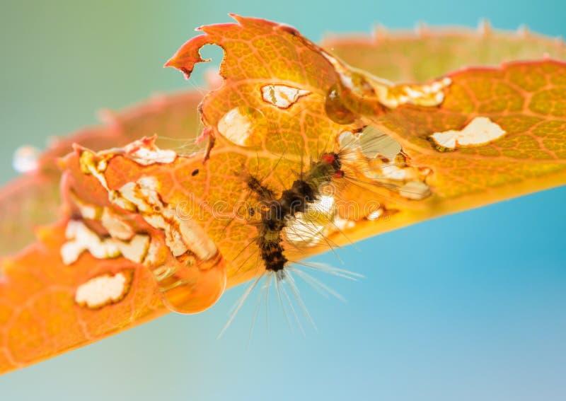 El gusano es come las hojas amarillas foto de archivo