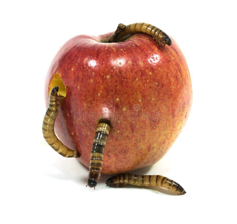 El gusano está saliendo de la manzana mordida fotografía de archivo